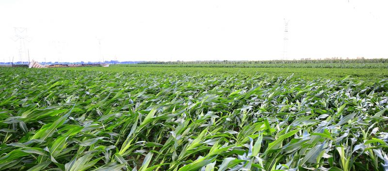 corn flattened New Crop Insurance Options for 2021