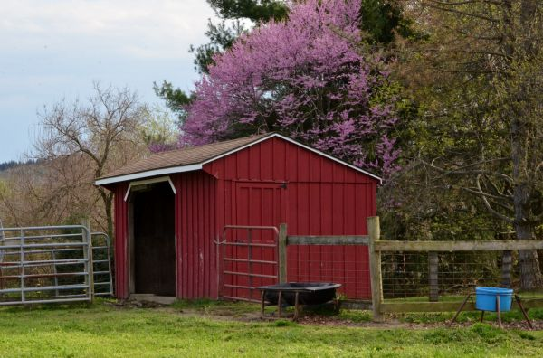 red shed in field of horse pasture with flowering trees behind it