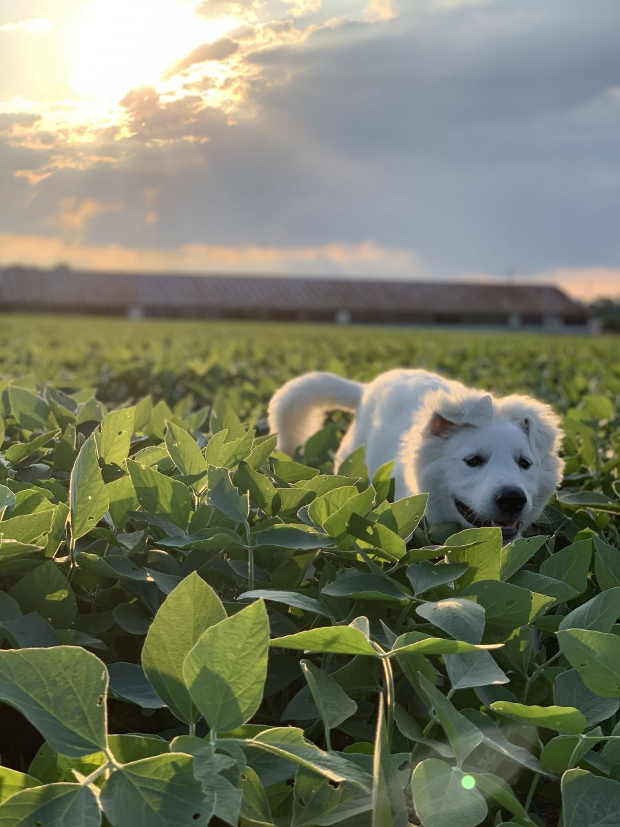 farm dog running through field of soybeans
