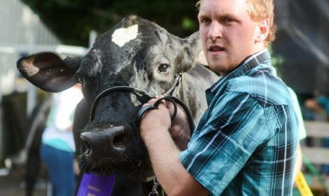 Ryan Wolf guides his supreme champion dairy cow, Laila, into the arena
