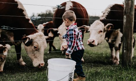 little boy feeding beef cattle