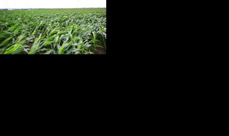 flattened corn New Crop Insurance Options for 2021