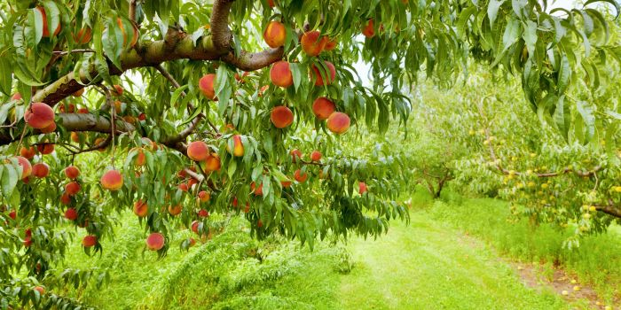 Orchard Operating Loan
